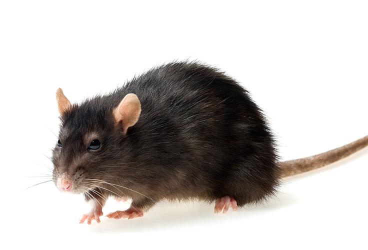 Rat d'égout