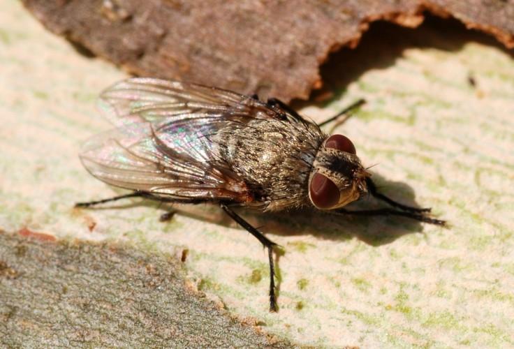 Mouche pollénie du lombric